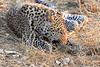 Leopard_Squirrel_Mashatu_Botswana0037