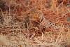 Leopard_Kaingo_Zambia0001