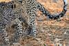 Leopard_Squirrel_Mashatu_Botswana0019
