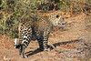 Leopard_Mashatu_Botswana0052