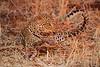 Leopard_Kaingo_Zambia0013