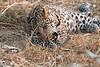 Leopard_Squirrel_Mashatu_Botswana0098