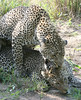 Leopard Mating Kirkmans Camp South Africa
