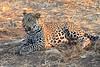 Leopard_Squirrel_Mashatu_Botswana0009