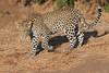 Leopard_Mashatu_Botswana0009