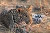 Leopard_Squirrel_Mashatu_Botswana0063