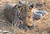 Leopard_Squirrel_Mashatu_Botswana0047