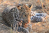 Leopard_Squirrel_Mashatu_Botswana0067