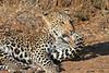 Leopard_Mashatu_Botswana0046