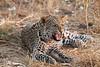 Leopard_Squirrel_Mashatu_Botswana0083