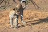 Leopard_Mashatu_Botswana0023