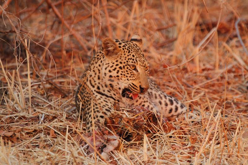 Leopard_Kaingo_Zambia0019