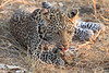 Leopard_Squirrel_Mashatu_Botswana0048