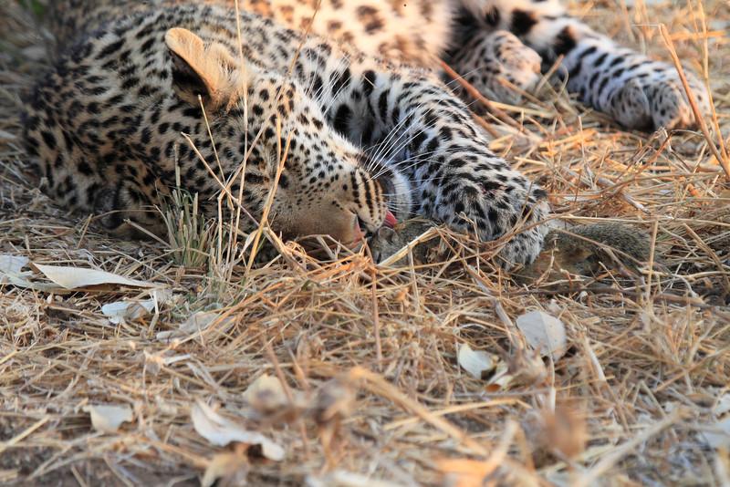 Leopard_Squirrel_Mashatu_Botswana0031