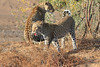 Leopard_Mashatu_Botswana0016