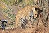 Leopard_Mashatu_Botswana0032