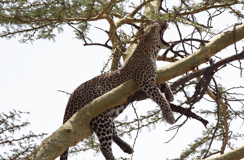 Leopard in Tree Central Serengeti