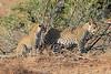 Leopard_Mashatu_Botswana0034