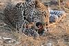 Leopard_Squirrel_Mashatu_Botswana0045