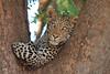 Leopard_Mashatu_Botswana0069