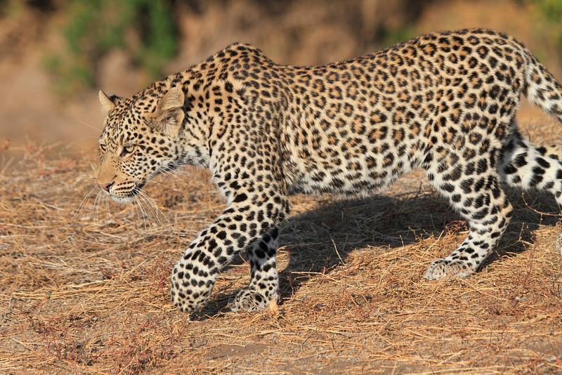 Leopard_Mashatu_Botswana0008