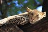 Leopard_Mashatu_Botswana0063