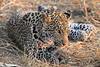 Leopard_Squirrel_Mashatu_Botswana0055