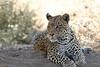 Leopard_Mashatu_Botswana0085