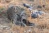 Leopard_Squirrel_Mashatu_Botswana0071