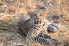 Leopard_Squirrel_Mashatu_Botswana0032