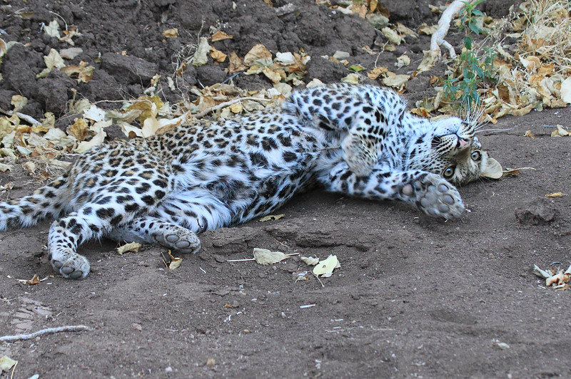 Leopard_Mashatu_Botswana0076
