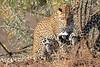 Leopard_Mashatu_Botswana0037