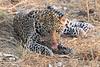 Leopard_Squirrel_Mashatu_Botswana0074