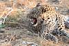 Leopard_Squirrel_Mashatu_Botswana0034