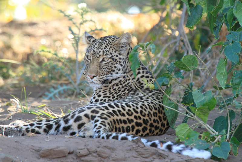 Leopard_Mashatu_Botswana0094