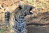 Leopard_Mashatu_Botswana0055