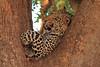 Leopard_Mashatu_Botswana0068