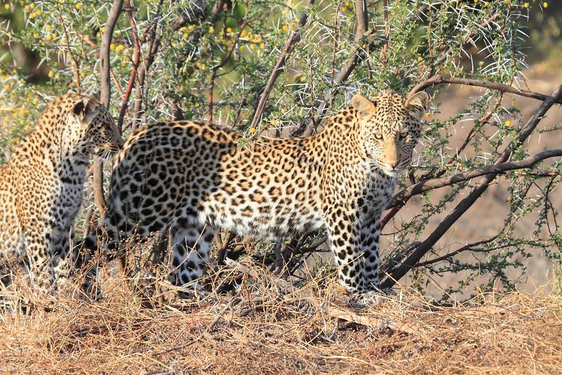Leopard_Mashatu_Botswana0035