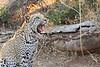 Leopard_Mashatu_Botswana0072