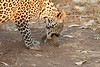 Leopard_Squirrel_Mashatu_Botswana0007