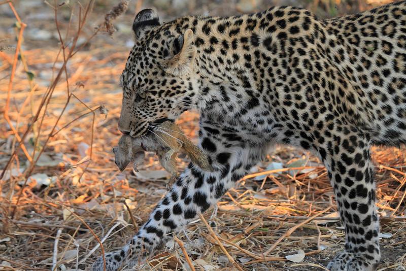 Leopard_Squirrel_Mashatu_Botswana0016