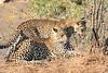 Leopard_Mashatu_Botswana0025