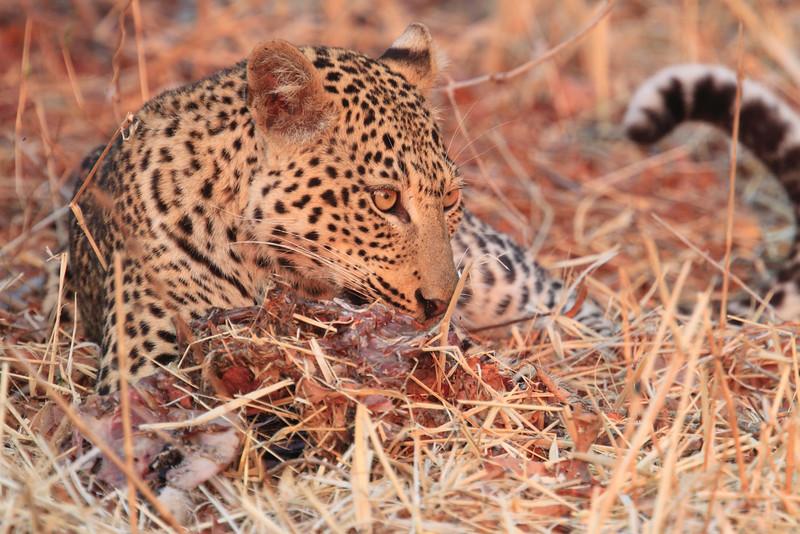 Leopard_Kaingo_Zambia0021