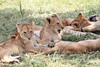 Marsh Pride Cubs Mara Topi House