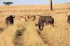 Lion Pride Mara Topi House Buffalo