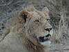 Lion South Africa Londolozi