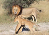 Lion Dad Cubs Chitabe Botswana