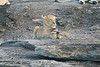 Lion Cub Pride Kleins Camp Tanzania