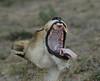 Lion Londolozi South Africa
