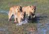 Lion Pride Cubs Duba Plains Botswana